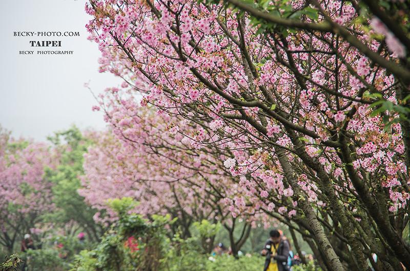 2016.Apr sakura @Sanzhi, Taipei 台北三芝三生步道櫻花