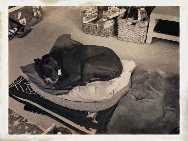 Sleepy Bear on Her Tuffet #dogs #pitbulls #pitbullterriers