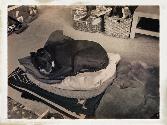 Sleepy Bear on Her Tuffet #dogs #pitbulls #pitbullterriers