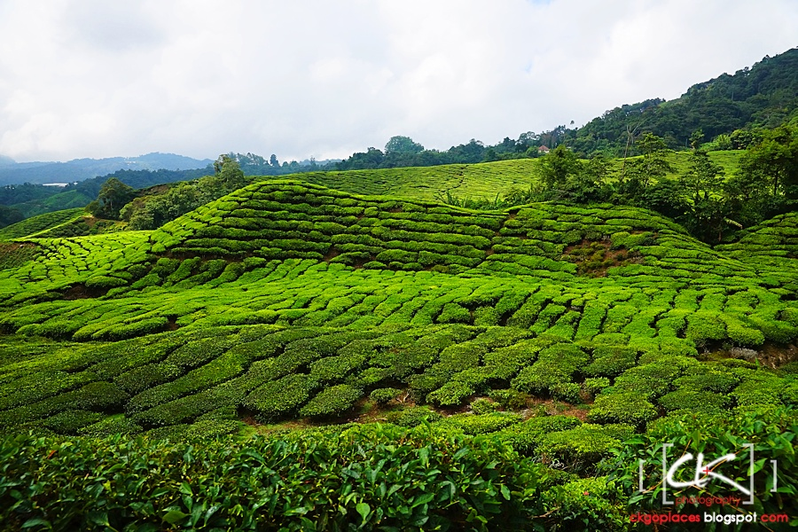 Cameron_Highlands_020