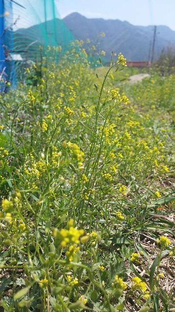 노란 들꽃길: 꽃다지