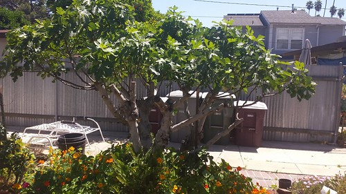 Neighbor B's Ficus carica