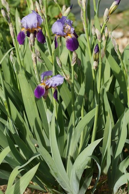 Iris 'Alcazar' - Vilmorin 1910 26545963955_95cfd31973_z