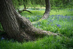 Bluebells and Tree, Grey's Court