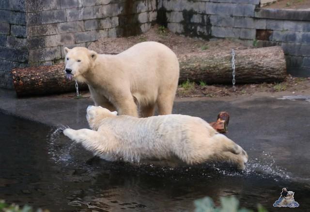 Eisbär Fiete im Zoo Rostock  011