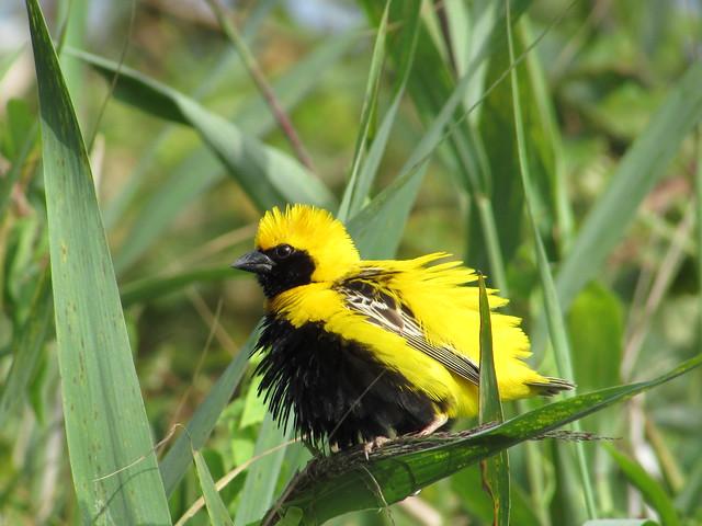 Bispo-de-coroa-amarela (Euplectes afer), Yellow-crowned bishop - BioRia, Salreu