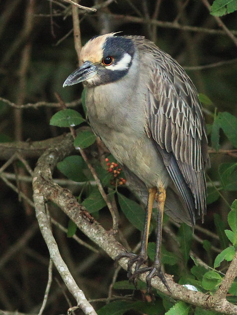 Yellow-crowned Night-Heron Dirty-crown 20160121