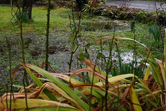 il pleut beaucoup, la pelouse est gorgée d'eau : il ne manque que les grenouilles !