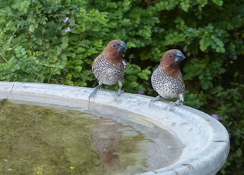 Nutmeg Mannikins at the bird bath