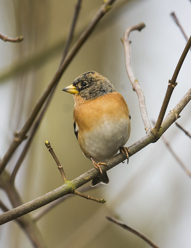Brambling, The Lodge RSPB, 7th February 2016