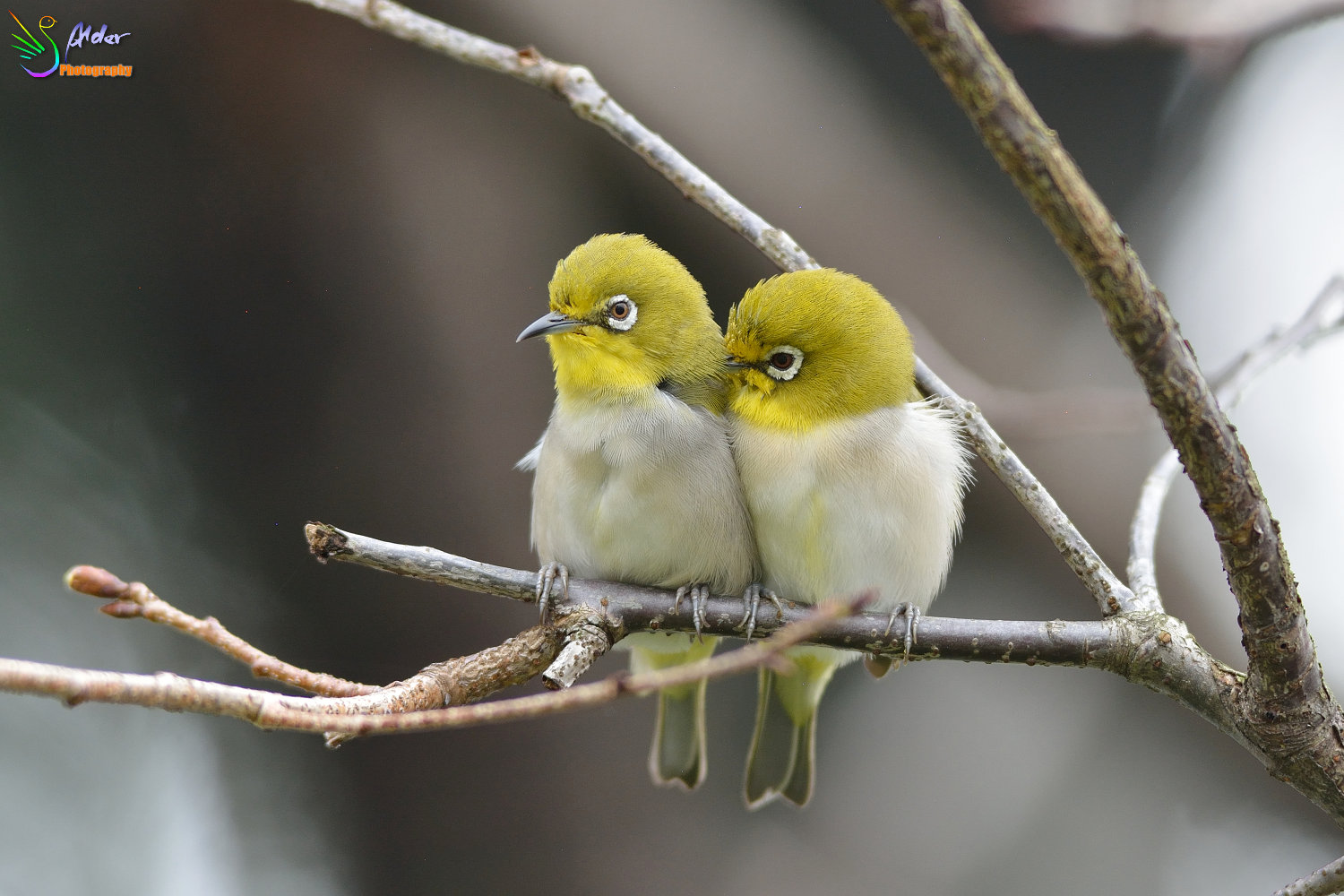Sakura_White-eye_4688