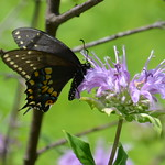 Swallowtail butterfly on Monarda