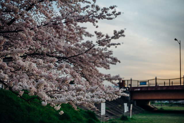 CherryBlossoms_416