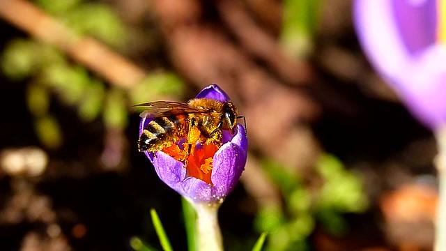 Honingbij verzameld stuifmeel op krokus