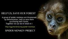 Help us saving endangered spider monkeys