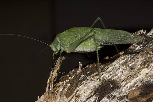 Anaulacomera sp (Phaneropteridae, Viadanini)