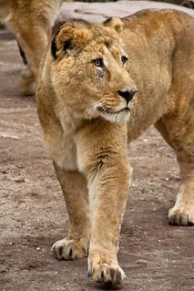 Lions in Heidelberg