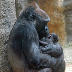 New baby gorilla being held by the mother