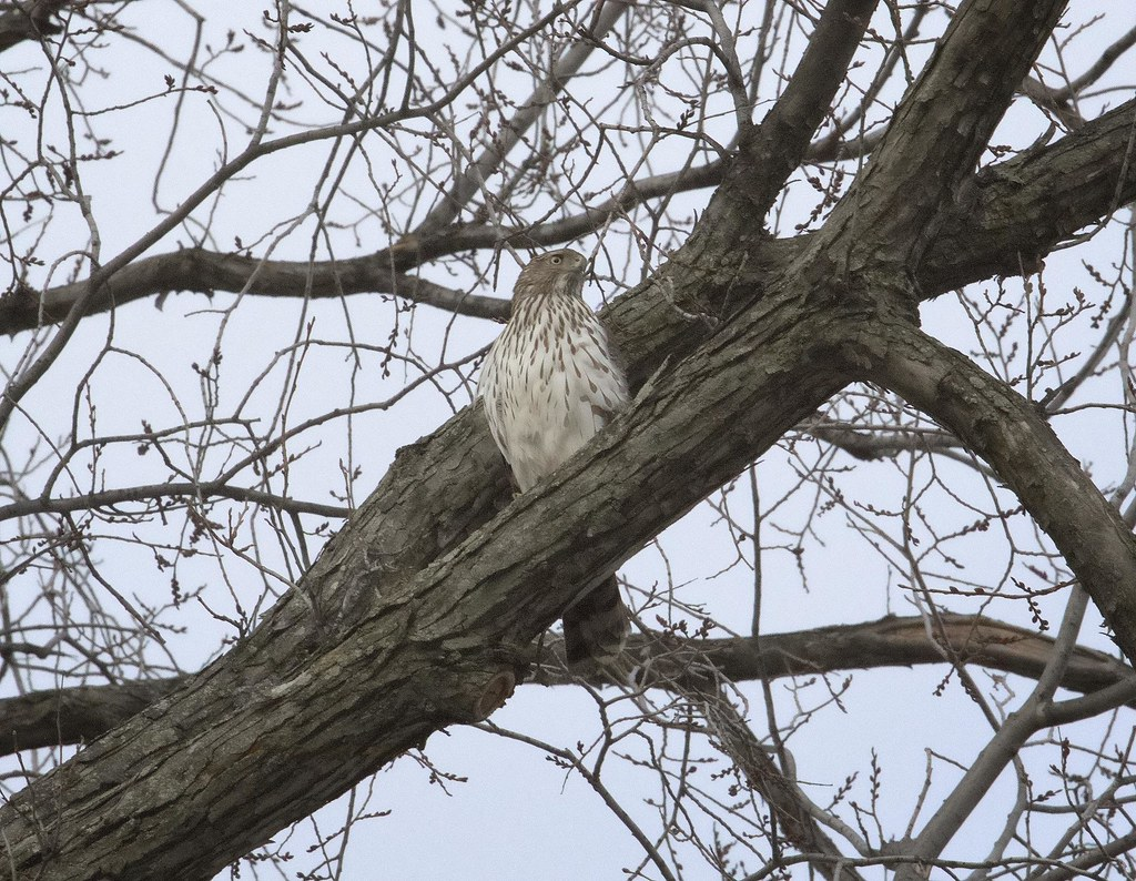 Cooper's Hawk in Tompkins Square