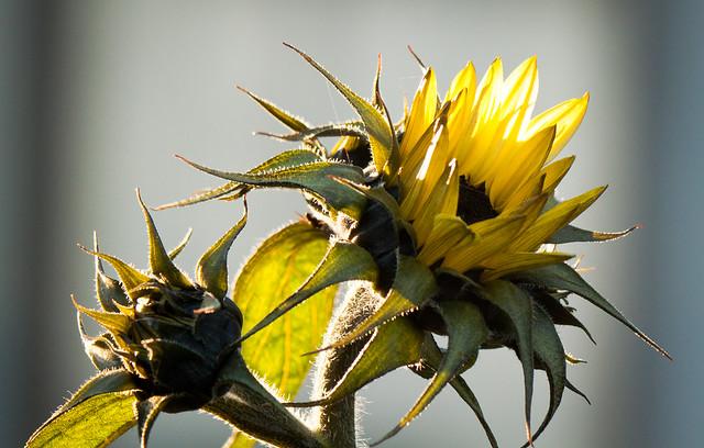 Winter Sunflower Duet