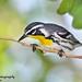 Reinita Gargantiamarilla...Yellow-throated warbler...Setophaga dominica....