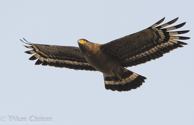 Crested Serpent Eagle.
