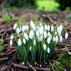 Snowdrops, Elsie Gate Field, Hedon