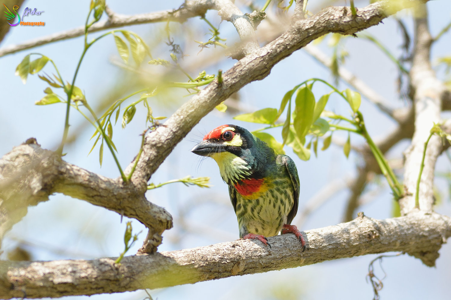 Coppersmith_Barbet_3099