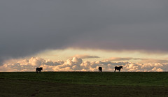 Mules Grazing under Low Clouds