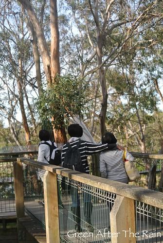150911j Phillip Island Koala Conservation Centre _03
