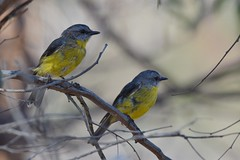 Eastern Yellow Robins  ( the young one )