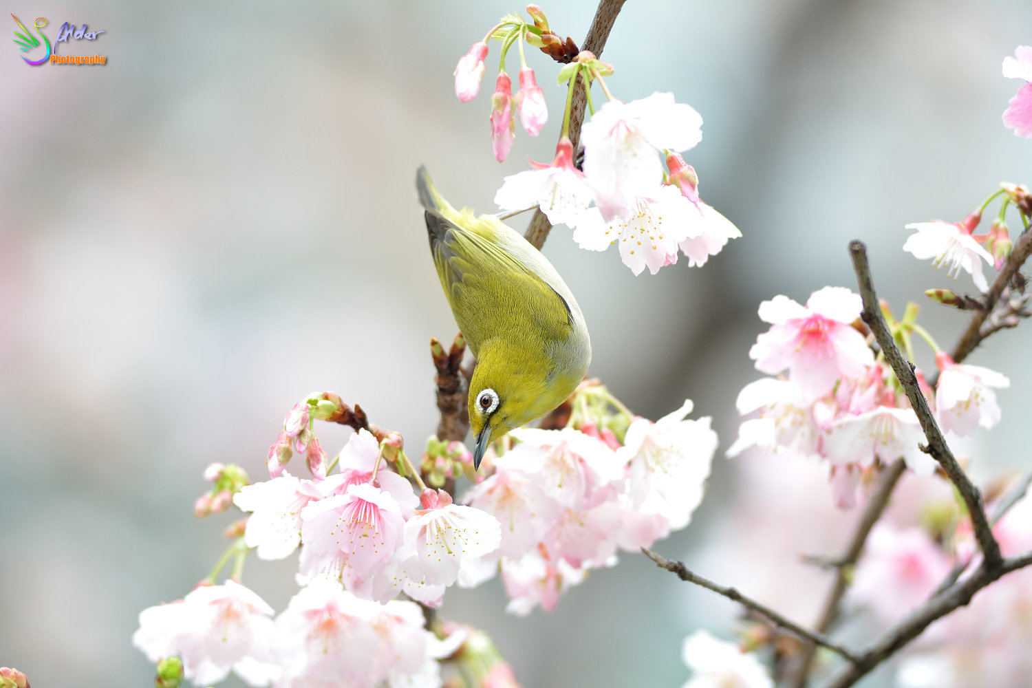 Sakura_White-eye_6867