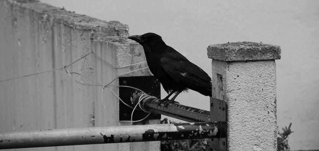 London Raven