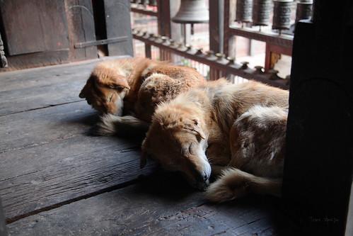 Nepali dogs 02