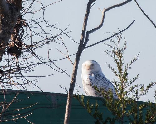 snow birds us unitedstates maryland places somerset owls snowyowl westover strigiformes taxonomy fairmountwma