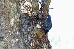 Neosittidae