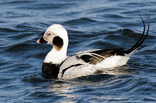 Barnegat: Long-tailed Duck Showing Off HIs Tail