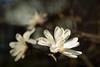 Magnolia by Sandra's Weeds