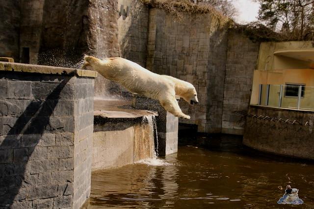Eisbär Fiete im Zoo Rostock 16.04.2016  138