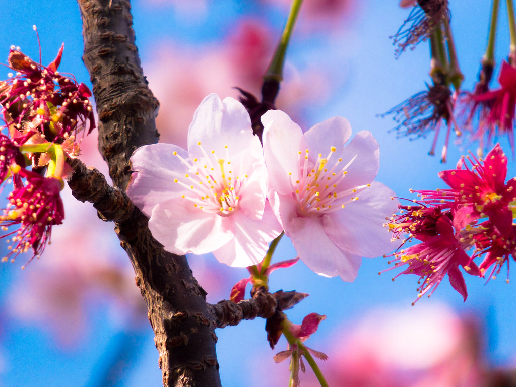 Season of the cherryblossom