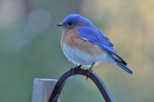 bluebird IMG_5436