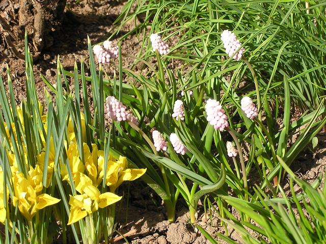 Iris donfordiae & Muscari 'Pink Sunrise'