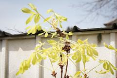 Roßkastanie mit Blütentrieb April 2016