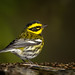Townsend's at the Birdbath by Patricia Ware