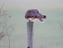 SHORT- EARED OWL .   ARCHIVE SHOT .