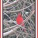 Friendly Cardinal by bigbrowneyez