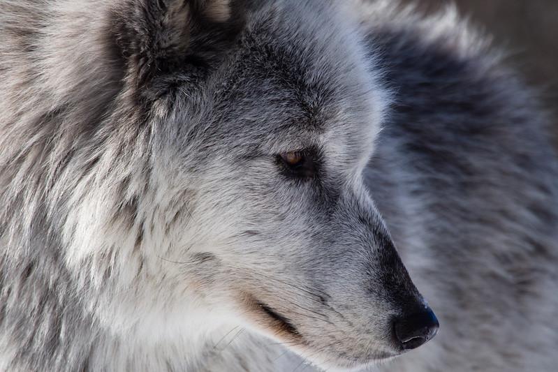 Up Close Wolf