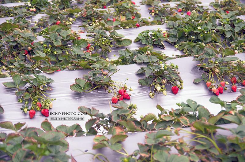2016.Mar Strawberry大湖草莓