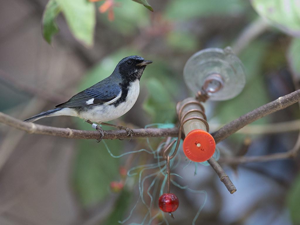 Cerulean Warbler   Cuba