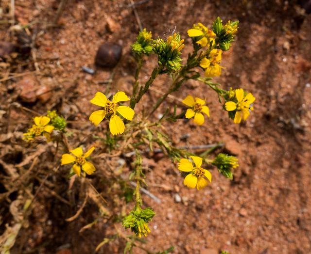 Tarweed (Deinandra fasciculata)